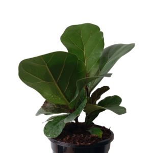 fiddle leaf bambino