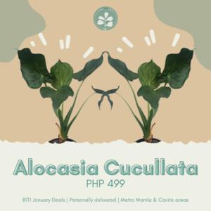 Alocasia Cucullata