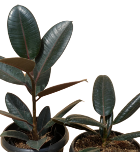 Black Prince Rubber Tree