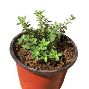 Thyme for sale in Manila